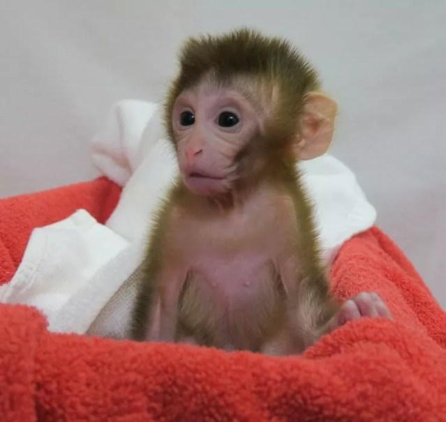 Macaco Grady cresce saudável, segundo pesquisadores (Foto: Oregon National Primate Research Center of the Oregon Heath and Science University)