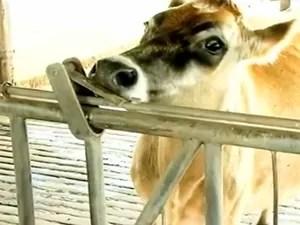 Vacas da raça jersey do município do Capão do Leão (Foto: Reprodução/RBS TV)
