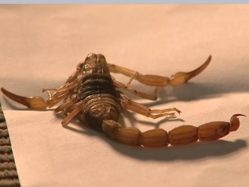 Sobe para 259 o número de casos de acidentes com escorpião em Araçatuba — Foto: Reprodução/TV TEM