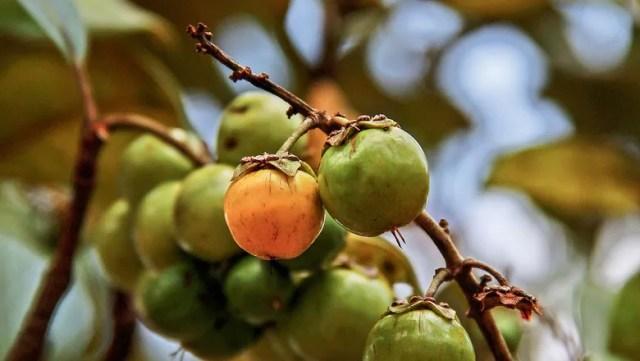 como-plantar-murucizeiro-muricizeiro-murici-fruteira (Foto: Ronaldo Rosa/ Divulgação)