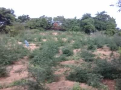 Plantação de maconha foi erradicada em Orocó  (Foto: Divulgação / Polícia Militar)