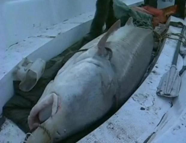 Esturjão-kaluga de 617 quilos foi capturado no rio Heilongjiang. (Foto: Reprodução)