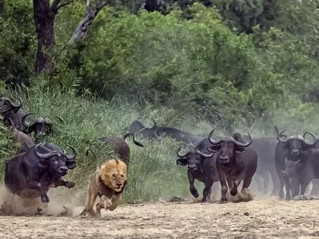 Dave Woollacott flagrou momento em que leão era afugentado por búfalos  (Foto: Dave Woollacott/Caters News)