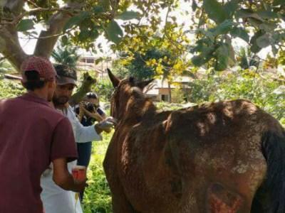 Égua ficou machucada após ser arrastada por cerca de 500 metros (Foto: Vale Verde)
