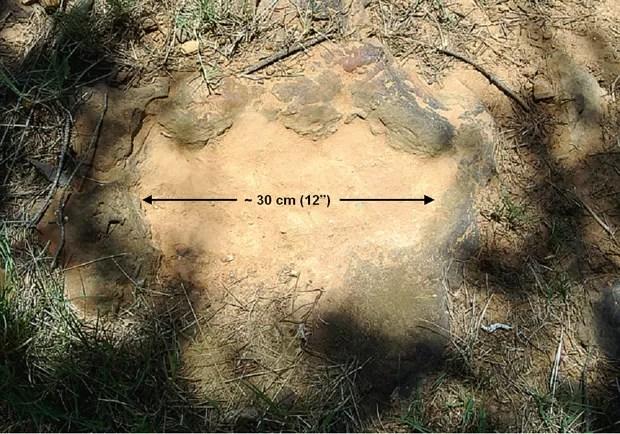 A pegada de um nodossauro data de 110 a 112 milhões de anos atrás (Foto: Ray Stanford)