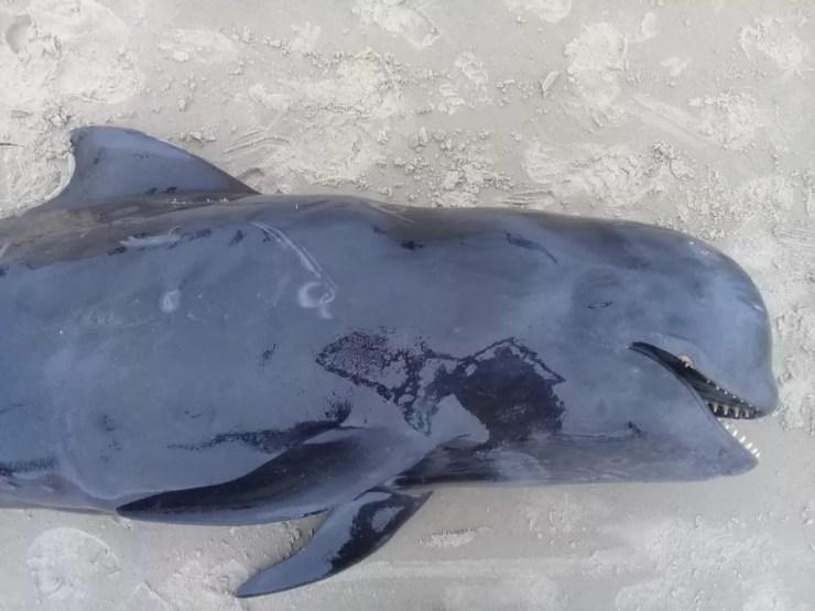 Espécie de golfinho é rara de ser encontrada encalhada, pois é oceânica e frequenta pouco a costa, segundo o Projeto de Monitoramento de Praias — Foto: PMP-BS/Univille