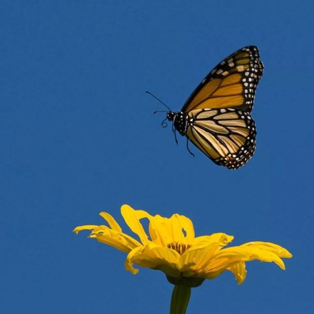 Quando está doente, a borboleta-monarca protege seus filhotes com compostos químicos — Foto: Getty Images via BBC