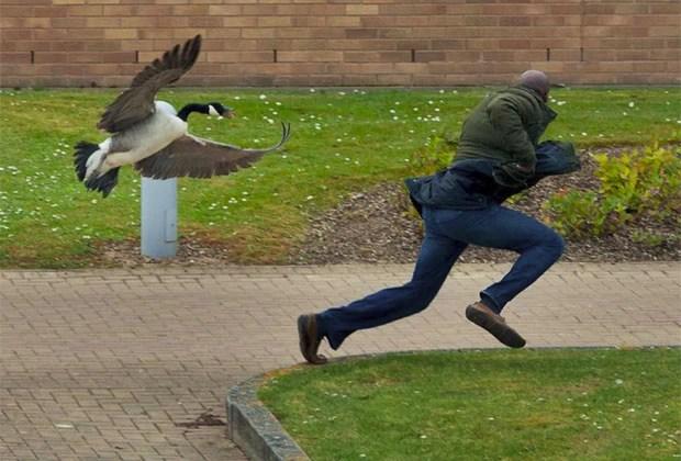 Gansa tem aterrorizado estudantes da Universidade de Warwick (Foto: Caters News/The Grosby Group)