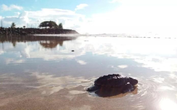 Tartaruga no mar de Ilhéus, no sul do estado (Foto: Vinícius Alcântara)