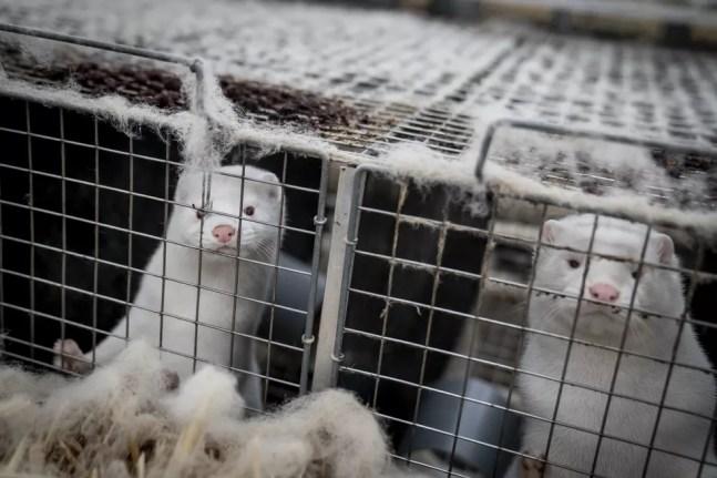 Visons são vistos em gaiolas em fazenda em Næstved, no centro-oeste da Dinamarca, nesta sexta-feira (6). — Foto: Mads Claus Rasmussen / Ritzau Scanpix / AFP
