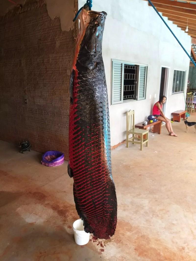 Pirarucu tem 110 quilos e 2,5 metros — Foto: Arquivo pessoal