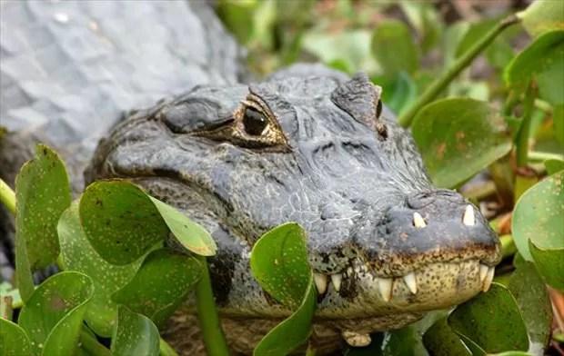 Vive em ambientes essencialmente aquáticos, como alagados, rios, lagoas e pântanos (Foto: Dirceu Martins / TG)