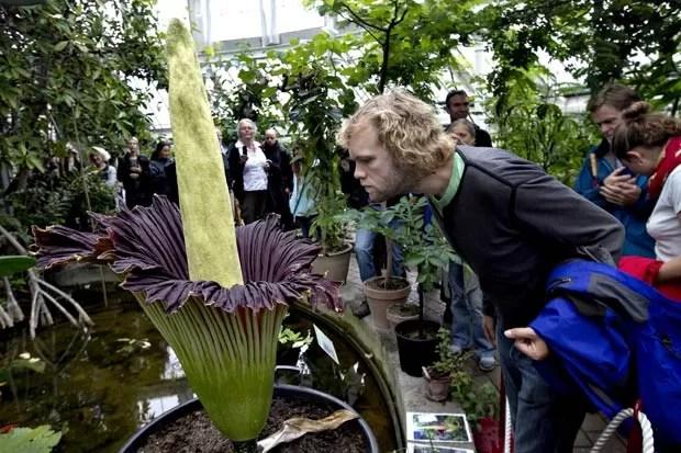 Flor-cadáver atraiu dezenas de visitantes no jardim botânico de Copenhague. (Foto: Jacob Ehrbahn/Polfoto/AP)