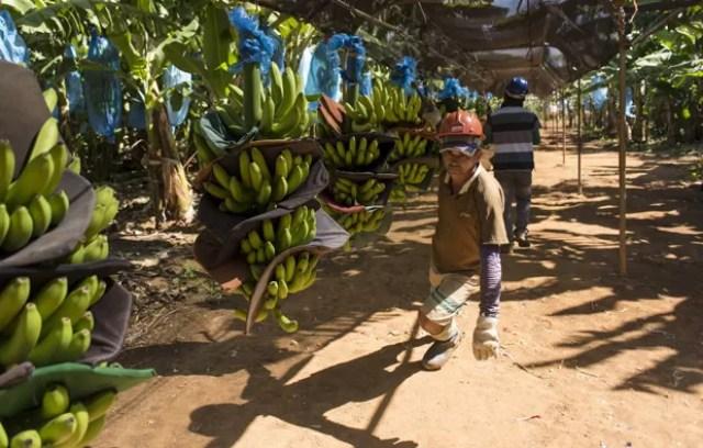 Homem carrega cachos de banana na fazenda da Tropical Nordeste S.A, em Limoeiro do Norte (Foto: Reuters/Davi Pinheiro)