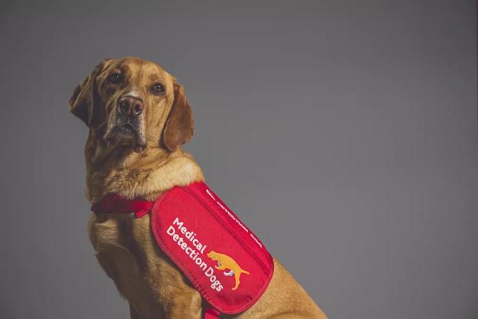 O cãozinho Kyp, uma mistura de labrador com golden retriever, foi um dos cachorros treinados para detectar a Covid-19 em estudo no Reino Unido. — Foto: Neil Pollock/MDD