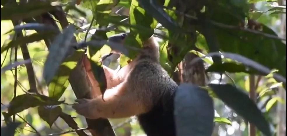 Tamanduá de volta à natureza em Rondônia — Foto: Reprodução