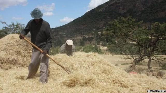 Etiópia proíbe exportação do teff, seja ele em sua forma mais crua ou depois de ser transformado em farinha  (Foto: James Jeffrey)