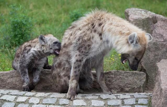 As hienas fêmeas são maiores que os machos e determinam a direção em que o grupo deve seguir — Foto: JOERG CARSTENSEN/AFP
