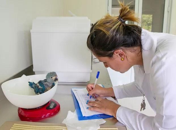 Integrante da equipe de veterinários que cuida das novas aves pesa exemplar nascido no fim de outubro (Foto: Divulgação/ICMBio)