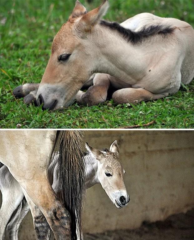 Animal nasceu em 27 de julho (Foto: Divulgação/Dolores Reed/Smithsonian Conservation Biology Institute)