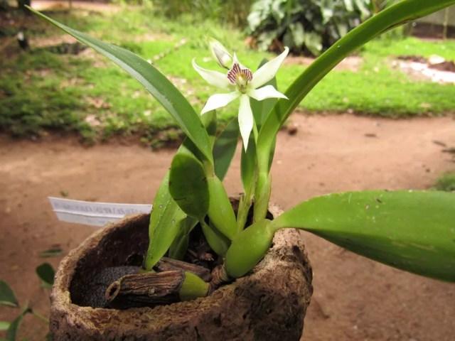 Orquídea (Prosthechea fragrans) — Foto: Ascom MRN/Divulgação