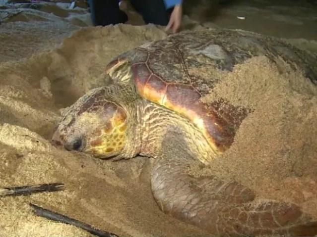 Único ponto de desova das tartaruas gigantes é em Regência (Foto: Reprodução/ TV Gazeta)