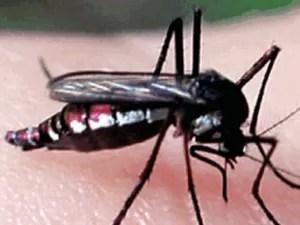Mosquito haemagogus janthinomys, que também transmite a febre amarela (Foto: Reprodução)