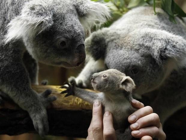 Erguido por um cuidador, bebê coala estende a mão parecendo querer cumprimentar um adulto ao lado de sua mãe, após passar por pesagem no zoo de Duisburgo, Alemanha. Agora com 350 ggramas, o animal nasceu em julho de 2013 e ainda não teve seu o escolhido. (Foto: Ina Fassbender/Reuters)