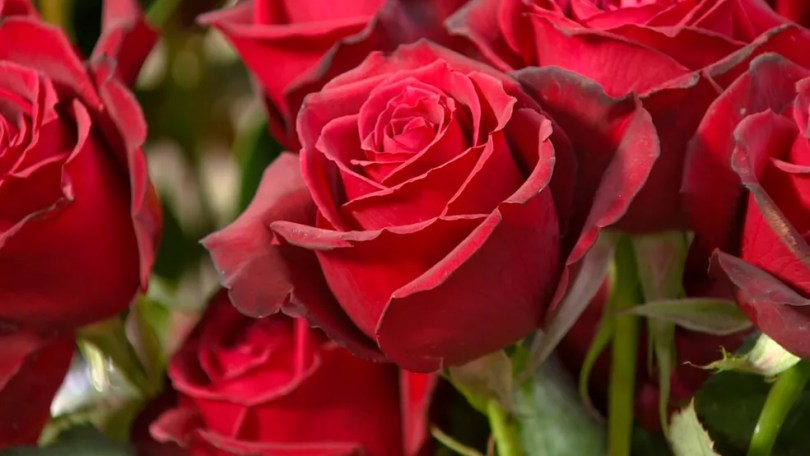 Preço de rosas vermelhas foi duplicado por conta de perdas na produção (Foto: Reprodução/EPTV)