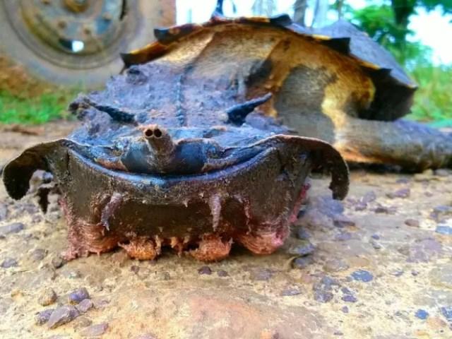 Biólogo da Ufac diz que tartaruga é, popularmente, conhecida como matamatá (Foto: Edson Souza/Arquivo pessoal)