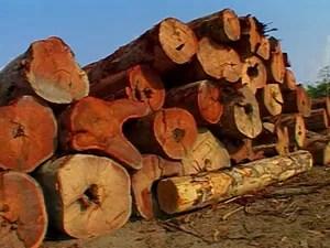 Assentados denunciam extração ilegal de madeira em Anapú, no Pará (Foto: Reprodução / TV Liberal)