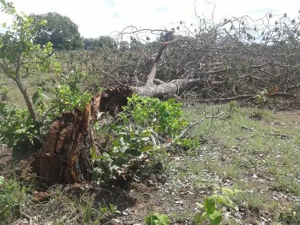 Vento forte arranca árvores em fazendas, na zona rural de Talismã (Foto: Divulgação)