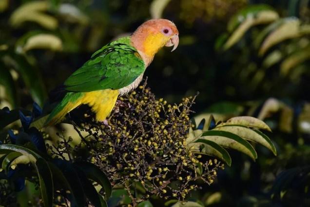 A ave encontra-se em ameaça de extinção da natureza  — Foto: Rudimar Narciso Cipriani / TG
