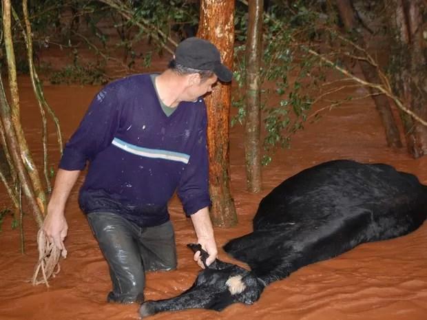 Vaca na enchente em Nova Candelária (Foto: Antônio de Oliveira/Arquivo Pessoal)