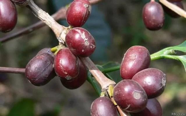 Café pronto para a colheita; cultivo de variedade mais popular está ameaçado por mudanças climáticas  (Foto: RBG KEW/BBC)