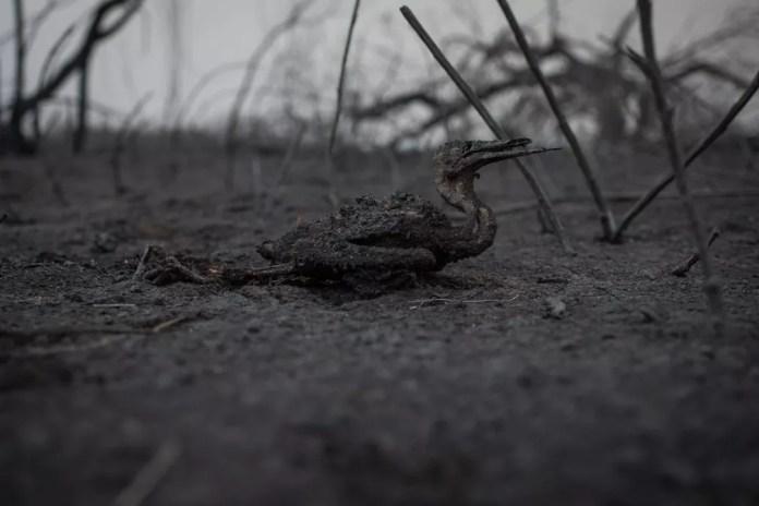 Biguá que não sobreviveu ao 'paredão' de 35 km de fogo em MS — Foto: Luiz Mendes/Arquivo Pessoal