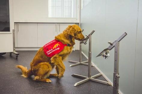 A cachorrinha Millie, da raça golden retriever, foi treinada para detectar a Covid-19 em um estudo no Reino Unido. — Foto: Neil Pollock/MDD
