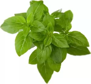 Fresh sprig of  basil (Foto: Getty Images/iStockphoto)