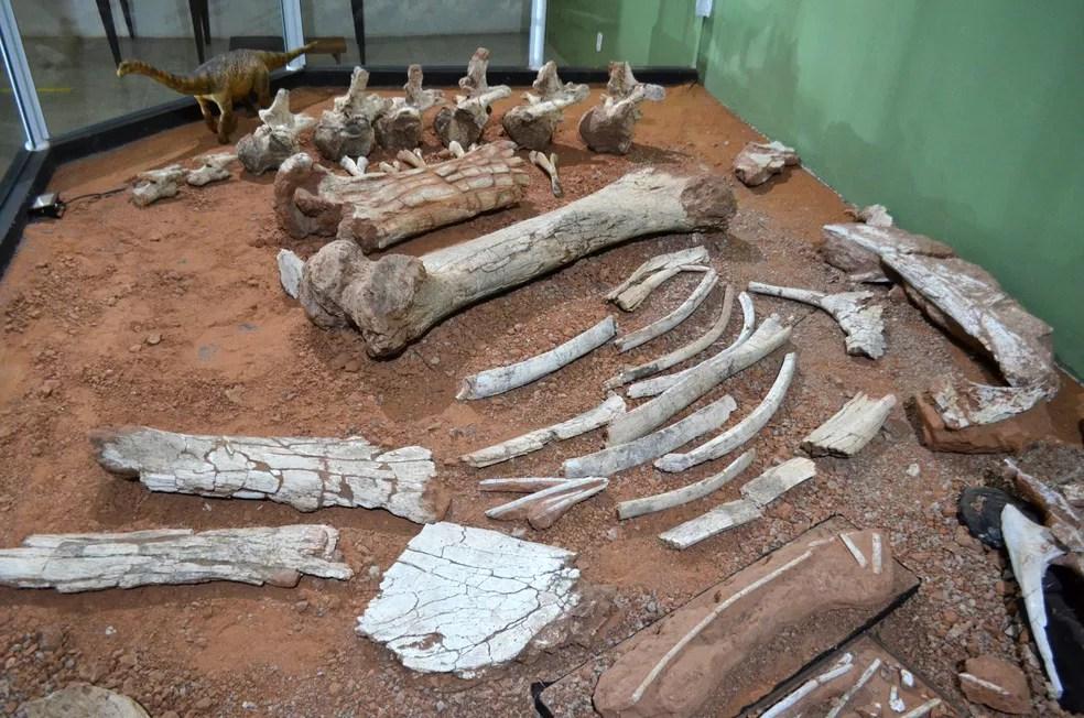 Fósseis do 'Arrudatitan maximus', um titanossauro, estão expostos no Museu de Paleontologia de Monte Alto (SP) — Foto: Museu de Paleontologia de Monte Alto/Divulgação