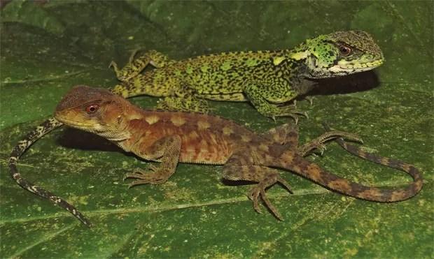 Dois exemplares, um macho e uma fêmea, da espécie Enyalioides azulae. (Foto: Reprodução/Zookeys)