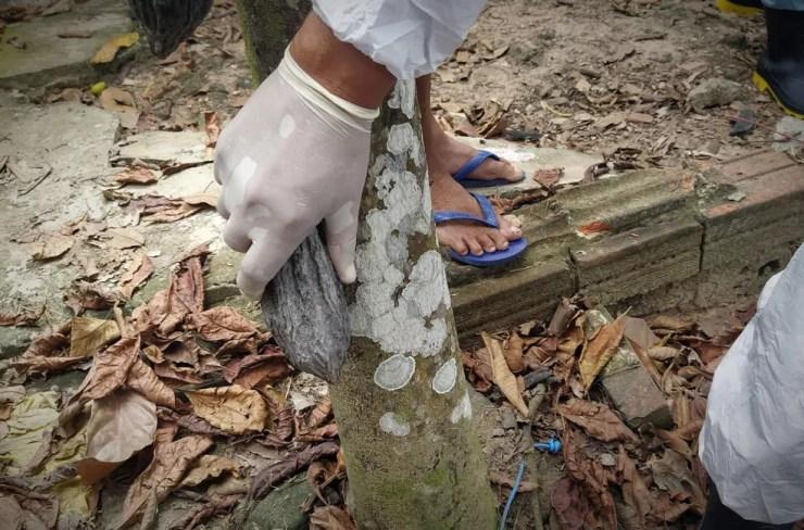 Monilíase do Cacaueiro pode ter sido trazido do Peru para o Acre — Foto: Erisney Mesquita/Secom