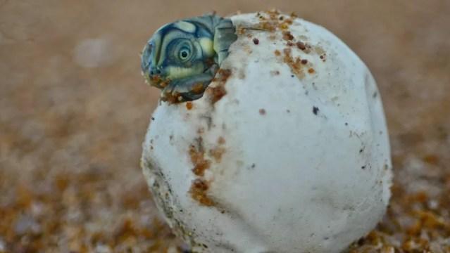 Estudo aponta cerca de 2.000 ninhos de tartaruga nas praias às margens do rio Juruá, na Amazônia — Foto: Camila Ferrara