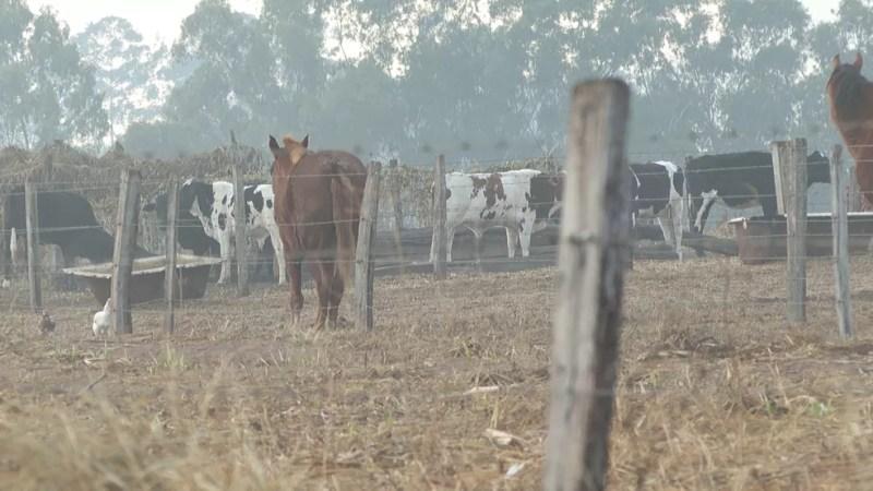 Geada queimou pastos e deixou vacas sem alimento em Santo Antônio da Alegria, SP — Foto: Reprodução/EPTV