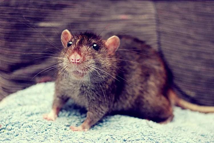 Imagem meramente ilustrativa. Imagens dos roedores não foram divulgadas. (Foto: Creative Commons)