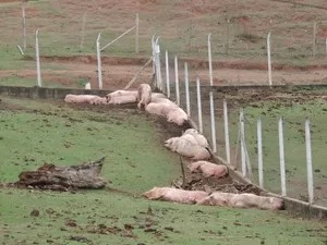 Porcos foram levados por ativistas para santuário em São Roque (Foto: Jomar Bellini / G1)