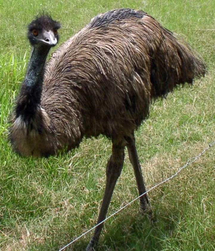 O emu pode chegar a dois metros de altura; ninho é preparado e cuidado pelo macho da espécie (Foto: Reprodução)