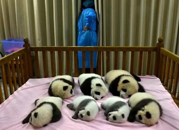 Sete pandas nascidos neste ano são vistos em centro de reprodução de pandas na China (Foto: AP)