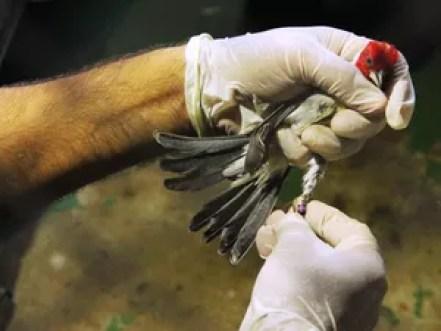 Passáros passaram por tratamento médico e reabilitação no Centro de Triagem de Animais Silvestres de Pernambuco (Cetas Tangara) (Foto: Divulgação/CPRH)