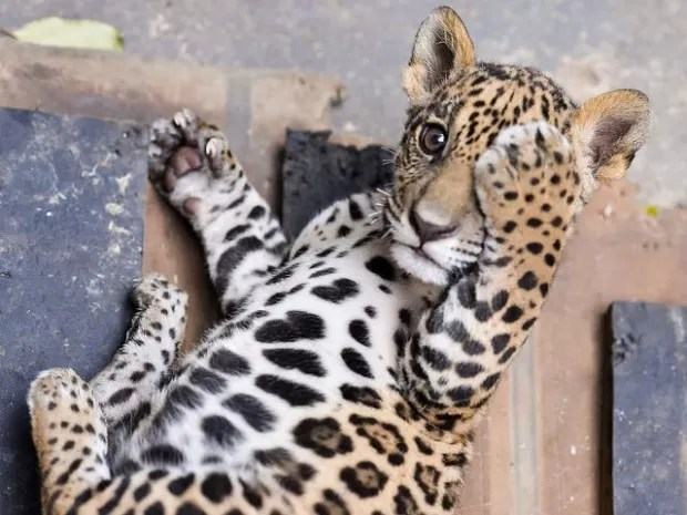 Filhote de onça-pintada foi resgatado em MT (Foto: Lucas Ninno/GCom)