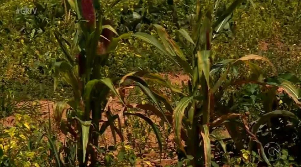 Plantação de Milho em Cedro (Foto: Reprodução/TV Grande Rio)